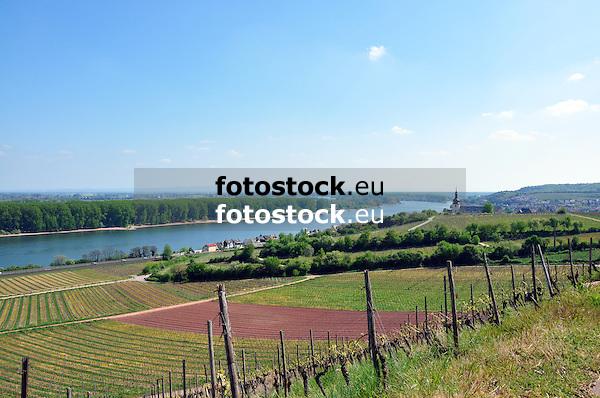 """Blick über die Weinbergslage """"Roter Hang"""" (Bereich Nierstein, Anbaugebiet Rheinhessen) auf Nierstein und den Rhein<br /> <br /> view over """"Roter Hang"""" to Nierstein at the river Rhine"""