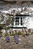 East Ogwell, Devon, England. Cottage window with wisteria and flowers on stone wall.