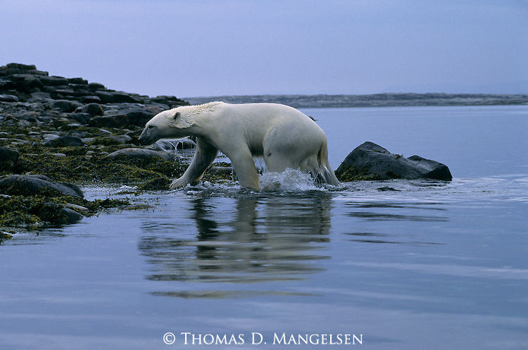A wet polar bear walks out of the water onto the rocky shore in Canada.