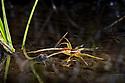 Raft Spider {Dolomedes fimbriatus} juvenile at edge of marsh pool, waiting to pick up vibrations from prey on water's surface. Naturpark Kaunergrat, Nordtirol, Tirol, Austian Alps, Austria. July.