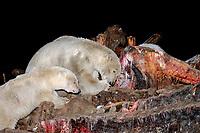 polar bear, Ursus maritimus, mother with cub scavenging the marrow a bowhead whale, Balaena mysticetus, carcass at night, 1002 coastal plain of the Arctic National Wildlife Refuge, Alaska, polar bear, Ursus maritimus