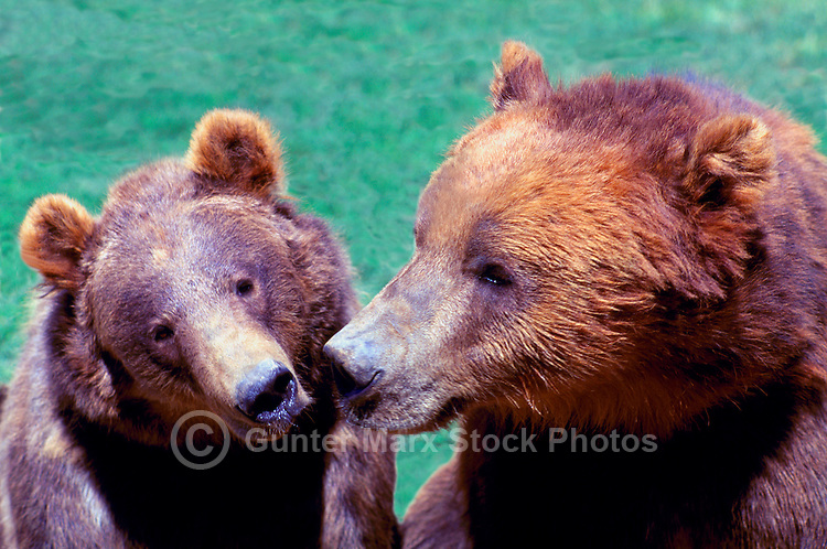 Two Kodiak Bears aka Alaskan Grizzly Bears and Alaska Brown Bears (Ursus arctos middendorffi)
