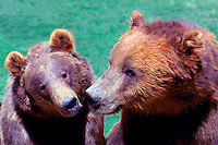 Two Kodiak Bears aka Alaskan Grizzly Bears and Alaska Brown Bears (Ursus arctos middendorffi)