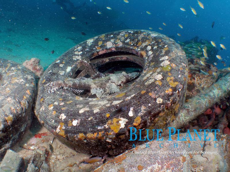 Fish Crocodilefish Crocodile Flathead Cymbacephalus beauforti on Artificial Reef Tire Behavior Environment Sipadan Island Sabah Malaysia.