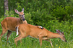 White-tailed doe and yearling buck