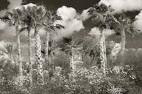 Palm tress and flowers of Dwarf Poinciana or Red Bird of Paradise, (Caesalpinia pulcherrima). California