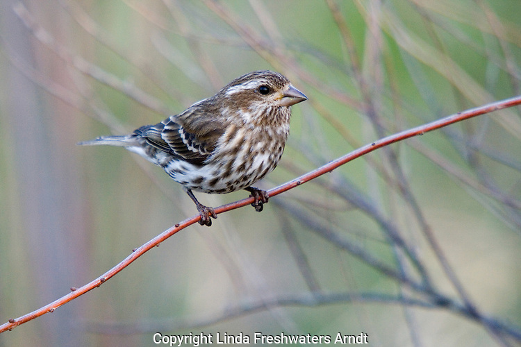 Female purple finch (carpodacus purpureus) perched on a branch in spring