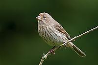 Female House Finch (Carpodacus mexicanus). Oregon. April.