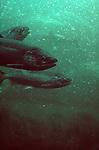Salmon, Fall upriver brights, Chinook salmon, Bonneville fish ladder, Columbia River, Hanford Reach, Washington State,