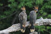 """Hoatzin (Opisthocomus hoazin), Hoactzin, Stinkbird, or Canje """"Pheasant"""""""