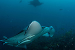 Manta and Remoras  in a cleaning station, Maldives, Manta Point