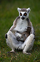 """13/04/16 <br /> <br /> Two ring-tail lemur sisters, both new first-time mums, share an intimate moment as their few day old babies cling to their tummies.<br /> <br /> Spring is in the air at a wildlife park in Staffordshire, with two of their endangered ring-tail lemurs both giving birth over the last few days.<br /> <br /> Staff at Peak Wildlife Park near Leek said they were thrilled when the lemurs had offspring just days apart, and have a strong suspicion that a third is about a become a mother soon.<br /> <br /> It's the first time that the creatures, which are native to southern Madagascar, have successfully bred at the park.<br /> <br /> Keeper Kalisha Sandland said: """"When the babies were born they would have only weighed around 3oz so they are really small. <br /> <br /> """"Both Evie and Princess, as the lemurs are called, are doing a fantastic job as first time mums.<br /> <br /> """"They'll keep the babies tucked up on their chest for another week or so and then they will be carried on their backs, so it's easy for visitors to see them.""""<br /> <br /> Meanwhile in the wallaby enclosure several of the animals have youngsters, called joeys, which are carried around in a pouch on the mother's stomach.<br /> <br /> """"The wallabies are a couple of months old now, so they are poking their little heads out to see what's going on,"""" said Kalisha.<br /> <br /> """"Everyone says how cute they look and the wallabies are very relaxed so it's easy to spot the joeys.""""<br /> <br /> The park is home to several other species of wildlife, including penguins, meerkats, capybara and the highly endangered Visayan warty pigs.<br /> <br /> <br /> <br /> MORE INFO:<br /> <br /> Endangered species source: www.iucnredlist.org<br /> <br /> All Rights Reserved: F Stop Press Ltd. +44(0)1335 418365   +44 (0)7765 242650 www.fstoppress.com"""