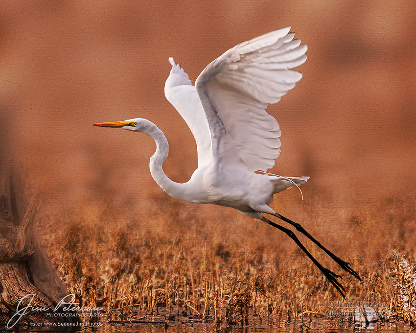 Ascending.  At Arizona's Lake Pleasant, northwest of Phoenix, this great egret was taking advantage of rising water levels to hunt for fresh fish in some newly created shallows.  It was just taking flight to try a new spot when I was fortunate to capture this photo (note the splash in the lower fight corner where its feet had just left the water).  This was probably a stopover during its migration to the northern USA or Canada to spend the summer months.<br /> <br /> Image ©2021 James D. Peterson<br /> <br /> Tech info: Nikon D850 camera with Tamron 150-600mm lens at 380mm, 1/2000 sec. at f11, ISO 1800.