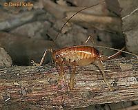 0922-06xx  Leafrolling Cricket - Camptonotus carolinensis - © David Kuhn/Dwight Kuhn Photography