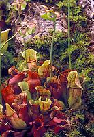 Carnivorous plant Saracenia purpurea ssp. purpurea in flower in woodland moss (Pitcher Plants)