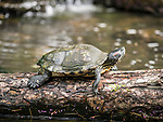 Common snapping turtle.