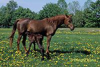 SH08-008z  Arabian Horse - nursing foal with mare