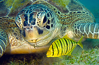 Green Sea Turtle, Chelonia mydas, Red Sea, Egypt
