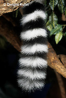 MA41-002a  Ringtailed Lemur - close-up of tail - Lemur catta