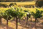 Votaw Road vineyards in spring