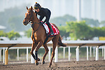 SHA TIN,HONG KONG-DECEMBER 09 : Blond Me,trained by Andrew Balding,exercises in preparation for the Hong Kong Cup at Sha Tin Racecourse on December 9,2017 in Sha Tin,New Territories,Hong Kong (Photo by Kaz Ishida/Eclipse Sportswire/Getty Images)