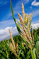 Controversial GMO (genetically modified organism) corn plants flowering on Maui