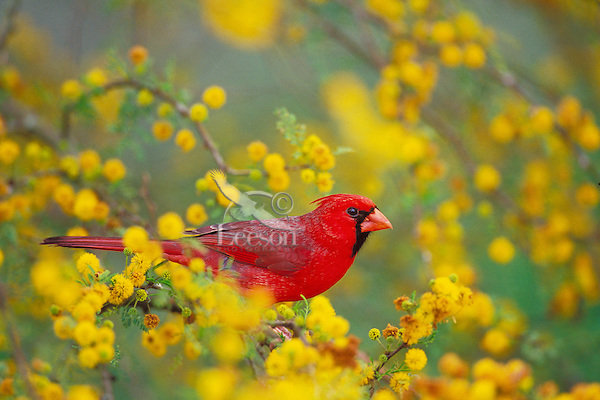 Male Cardinal (Cardinalis cardinalis) sitting in huisache tree (N.A. acacia tree), Texas.  March.