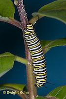 MO02-528z  Monarch Caterpillar on Milkweed - Danaus plexipuss