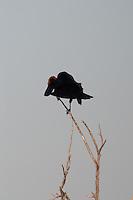 Red-winged Blackbird (Agelaius phoeniceus),  Merritt Island National Wildlife Refuge, Titusville, Florida, US