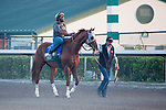 HALLANDALE BEACH, FL - JANUARY 21: California Chrome with exercise rider Dhigi Gladney and groom Raul Rodriguez head to the track for a morning work at Gulfstream Park. (Photo by Arron Haggart/Eclipse Sportswire/Getty Images