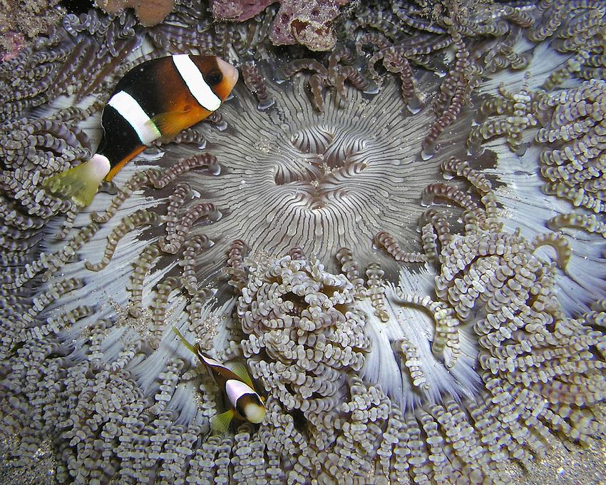 Beaded Sea Anemone - (Heteractis Aurora)