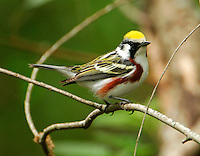 Adult male chestnut-sided warbler in breeding plumage