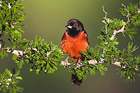 Orchard Oriole (Icterus spurius), male, Sinton, Corpus Christi, Coastal Bend, Texas Coast, USA