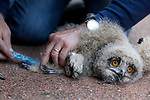 Foto: VidiPhoto<br /> <br /> ARNHEM - Het gaat goed met de oehoe's in Nederland. De grootste Europese uilensoort telt inmiddels veertig paren, waarvan er twintig broeden. Voor het eerst nestelen de dieren ook in de bossen. Tot nog toe gebeurde dat alleen in steengroeves of op rotsen, zoals in Burgers' Zoo in Arnhem. Daar werd in 2016 jaar bij toeval een nest met oehoe-jongen ontdekt op kunstmatig aangelegde rotsen. Vrijdagmiddag werden de drie jongen geringd, gewogen en opgemeten. Het gaat om twee vrouwtjes en één mannetje. Volgens oehoe-expert Gejo Wassink voelen de wilde oehoe's zich thuis in de dierentuin omdat ze gebruik kunnen maken van een welvoorziene dis. In het dierenpark en omgeving zijn houtduiven, kraaien, ratten en egels -het menu van oehoe's- ruim voldoende aanwezig. Het aantal oehoe's in Nederland stijgt ieder jaar langzaam, maar gestaag.