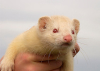 Ferret in a hand.