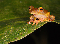 A harlequin tree frog photographed during a night walk in Borneo.
