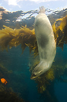 California sea lion, Zalophus californianus, San Benito Island, Baja California, Mexico