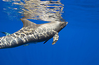 pygmy killer whale, breathing, Feresa attenuata, Hawaii, Pacific Ocean