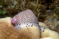 Umbilical Egg Shell or Warty/Little Egg Cowry, Calpurnus verrucosus, Puerto Galera, Mindoro, Philippines, Indo-Pacific Ocean