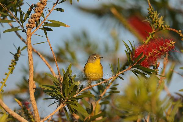 Nashville Warbler ( Vermivora ruficapilla), adult male feeding on blooming Lemon bottlebrush, crimson bottlebrush (Melaleuca citrina), South Padre Island, Texas, USA