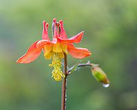 Crimson Columbine or Western Red Columbine (Aquilegia formosa).  Common Pacific Northwest wildflower.  May-June.