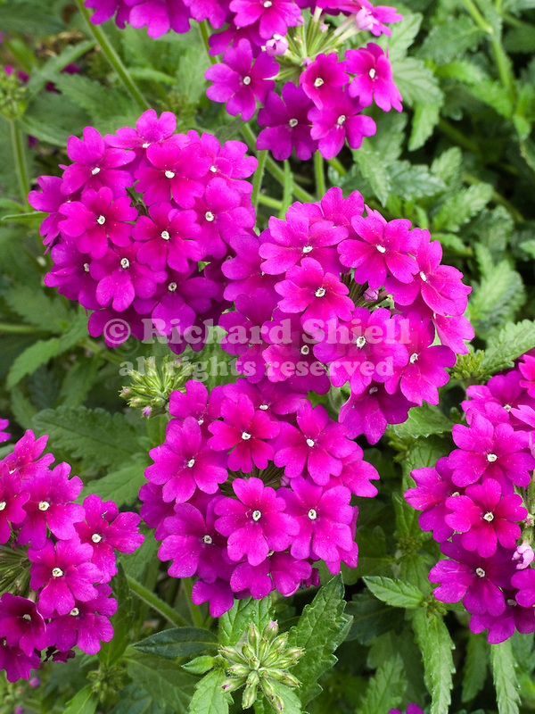 Verbena Lanai Royal Purple
