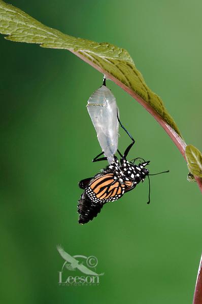 MONARCH BUTTERFLY life cycle..Emergence on Joe-Pye leaf. .North America. Danaus plexippus.