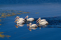 White pelicans on Big Bear Lake<br />