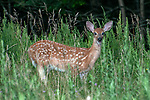 3-4 month old White-tailed deer fawn grazing in open field looking at camera.