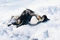 Adelie penguin, Pygoscelis adeliae, dead in snow, Cape Adare, Antarctica