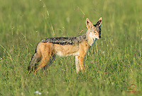 Black-backed Jackal sizes up his chances of snagging a meal, Lion kill, Masai Mara