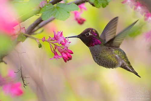 Anna's Hummingbird and Flowering Currant, Washington