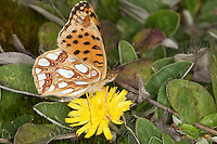 Kleiner-Perlmuttfalter, Kleiner Perlmuttfalter, Kleiner Perlmutterfalter, Issoria lathonia, Argynnis lathonia, Queen of Spain fritillary