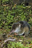 Waldspitzmaus frisst einen erbeuteten Regenwurm, Wald-Spitzmaus, Spitzmaus, Maus, Sorex araneus, Eurasian common shrew